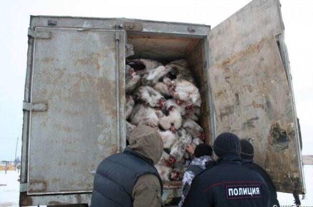 Специалисты обнаружили более 800 мест незаконной добычи дикого северного оленя.