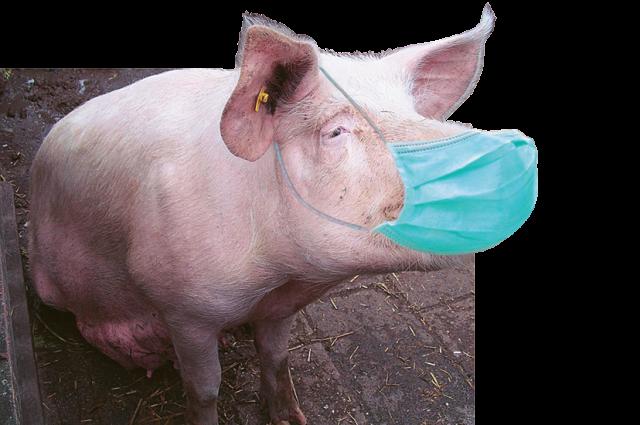 Чума свиней добралась до Сибири.