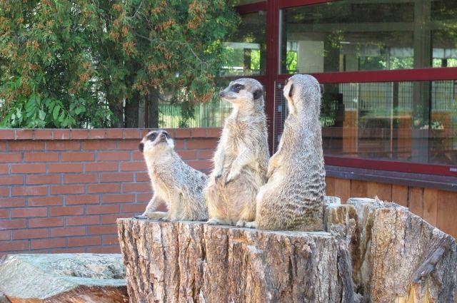 В Калининград привезли сурикатов из Ленинградского зоопарка.