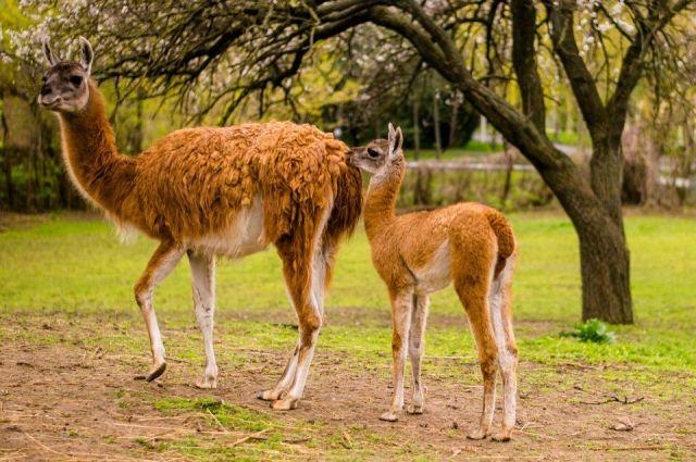 Вростовском зоопарке ролидалсь лама гуанако Яне