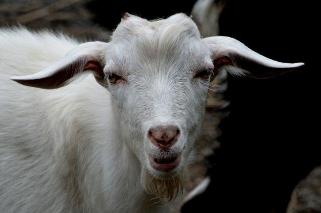 В Зимбабве теперь можно оплачивать обучение козами и овцами