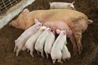 Финансовая поддержка позволит открыть новые свинокомплексы  в Зауралье.