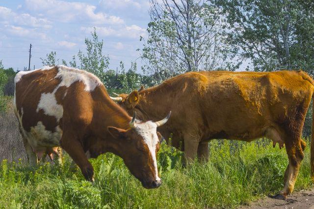 Cотрудники экстренных служб помогли шоферу, который потерял вдороге 2-х коров