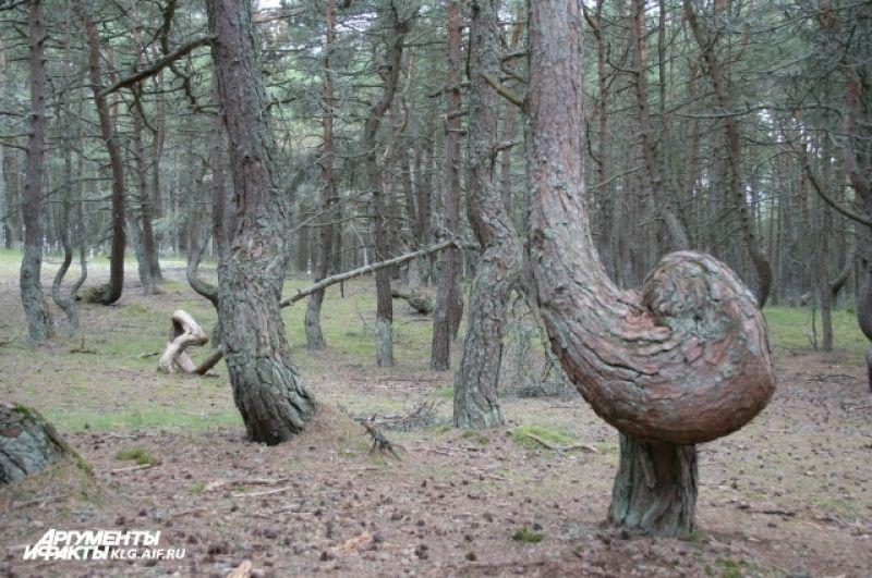 Сосновый лес был высажен в 60-х годах прошлого века.