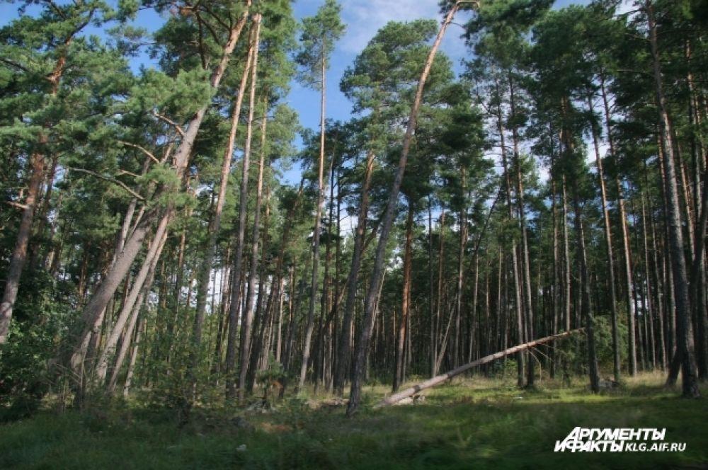 Этот лес туристы прозвали «пьяным»: сильные ветра склоняют вековые деревья.