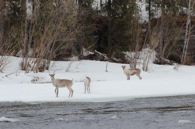 В ходе авиарейда найдены 98 разделанных туш северных оленей.