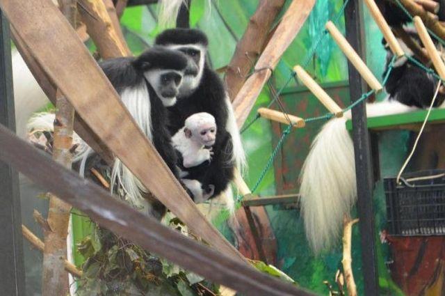 Самец приехал в пермский зоопарк четыре года назад.