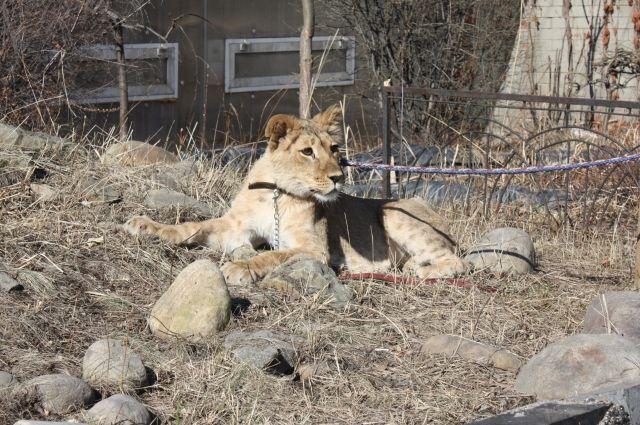 Львица Лили поселилась вдетском контактном зоопарке