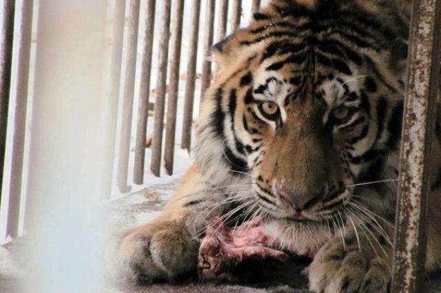 Амурскому тигру Упорному было всего три года