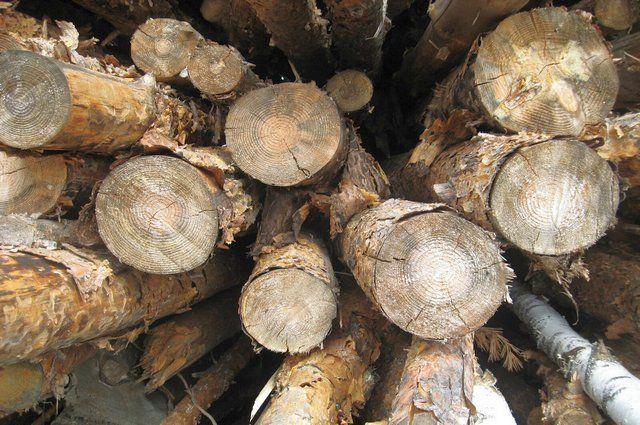 ВОренбургском районе неизвестные вырубили девять кленовых деревьев