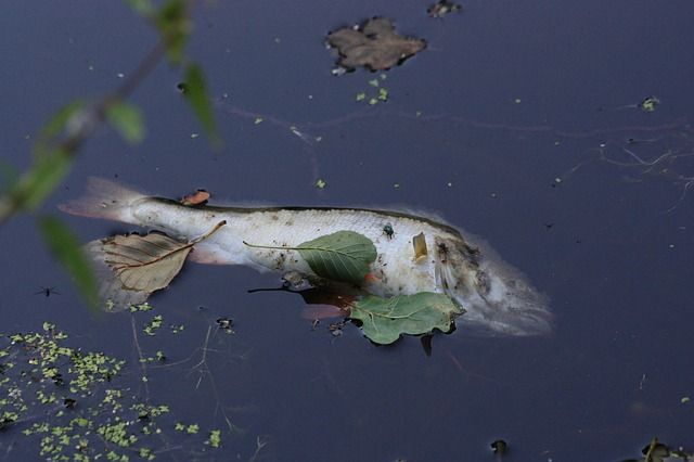 Рыба всплыла кверху брюхом.