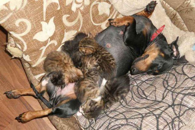 Такса Чара стала матерью шестерым котятам-сиротам.