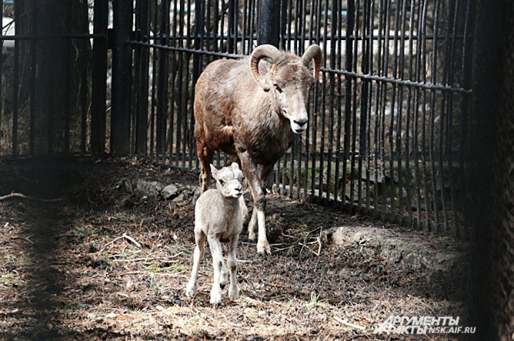 Маленький барашек аргали тоже старается держаться поближе к рожителям