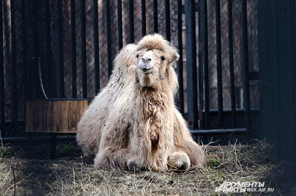 Малыш-верблюжонок выглядит совсем немаленьким