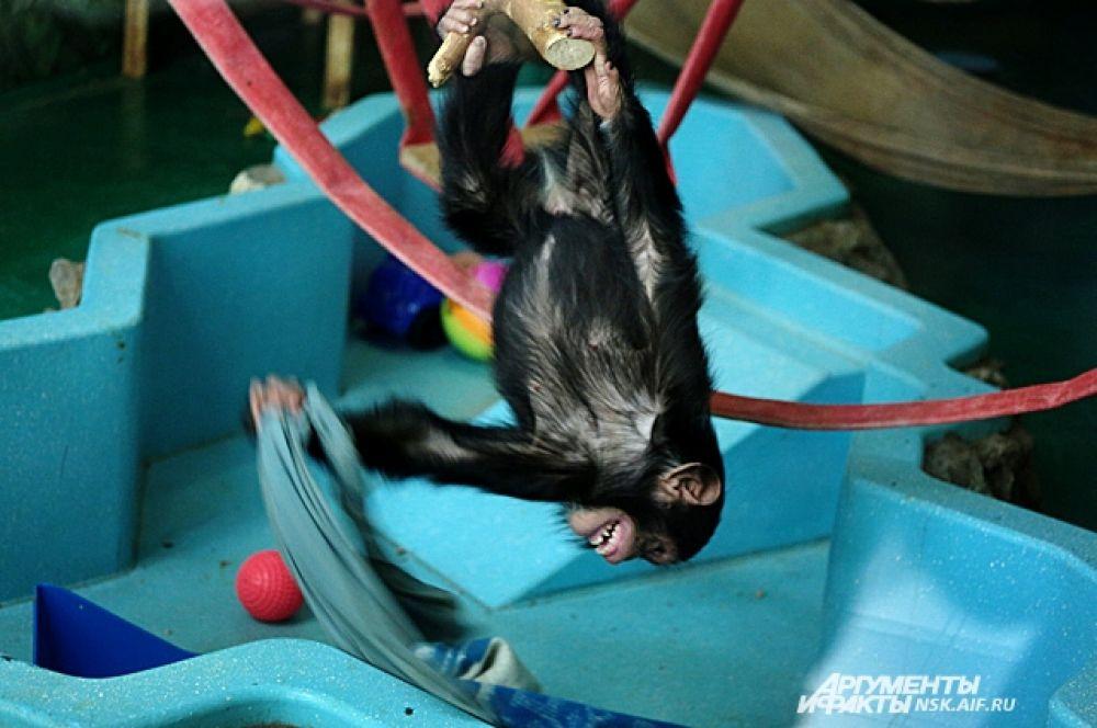 Контрабандные шимпанзе Филя и Леля развлекают посетителей