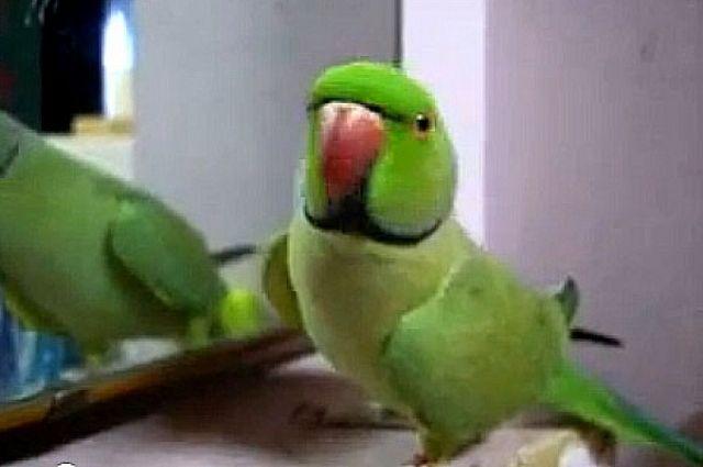 Попугай отвлек водителя