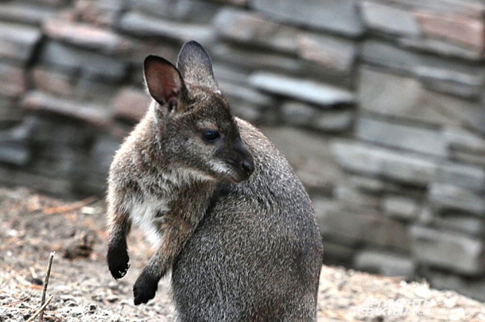 Маленький детеныш кенгуру не отходит далеко от мамы