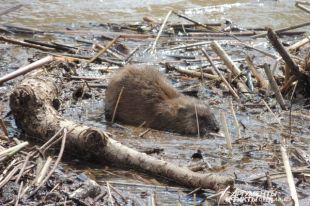 Оренбуржцы следят за судьбой ондатр