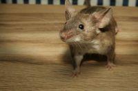 Излюбленное место мышей - сено и солома. Будьте осторожны при работе с ними.