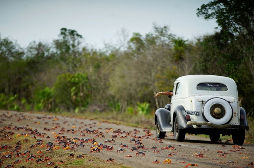 24 апреля. В окрестностях пляжа Плайя-Хирон на Кубе началась сезонная миграция крабов.