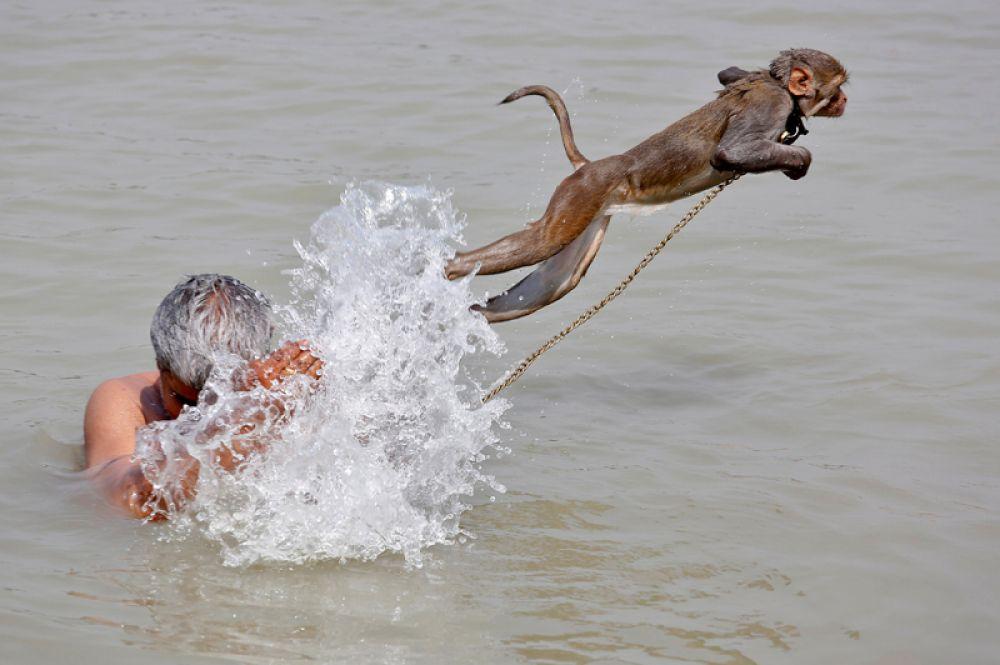 26 апреля. Домашняя обезьяна Раму купается вместе с хозяином в реке Ганг в жаркий летний день в Калькутте, Индия.