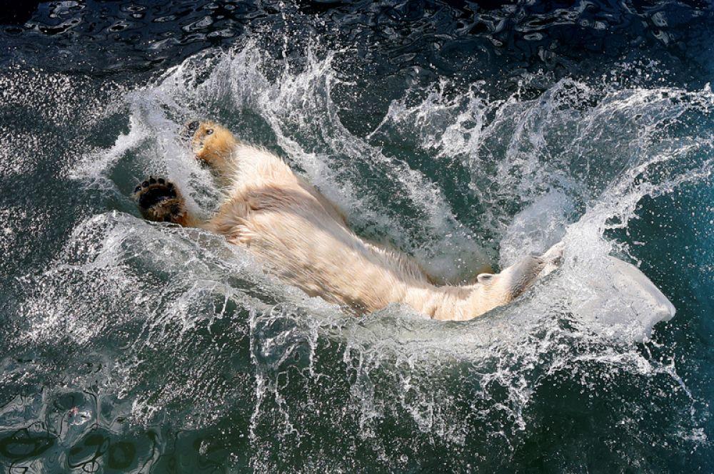 24 апреля. Белая медведица Аврора прыгает в бассейн, который недавно был наполнен водой после зимнего сезона, в зоопарке «Роев Ручей» в пригороде Красноярска.