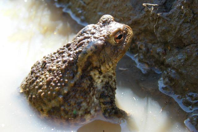 ВСестрорецке пройдет операция поспасению жаб