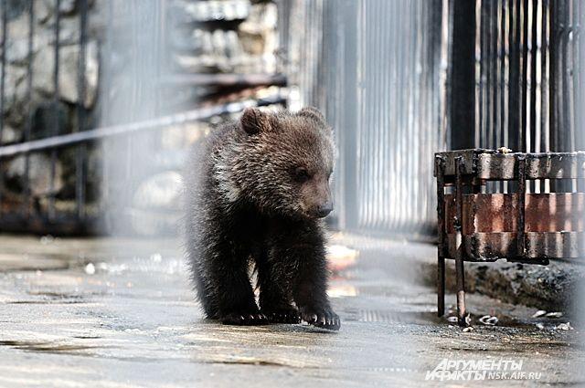 Медвежонка разлучили сматерью иотправили вНовгород