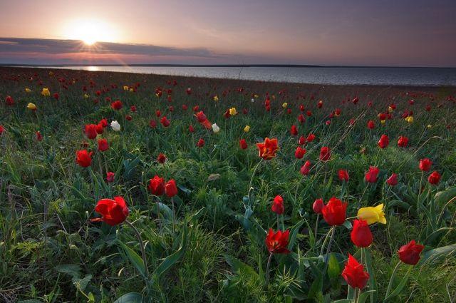 Оренбуржцам грозят штрафы за сорванные тюльпаны Шренка