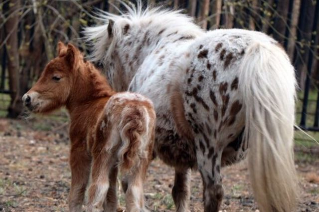 Малышка пони не отходит далеко от мамы