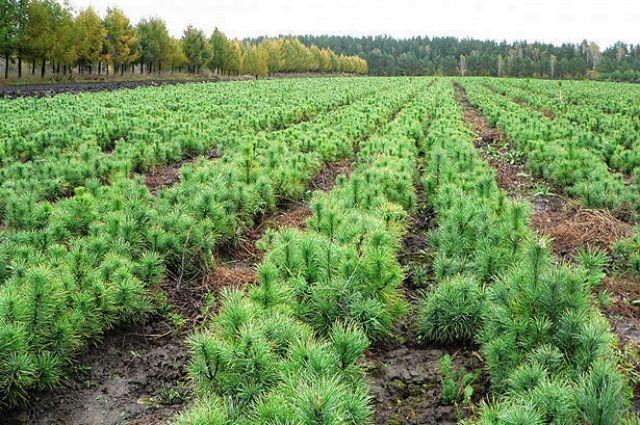Планируется высадить сеянцы деревьев хвойных и лиственных пород