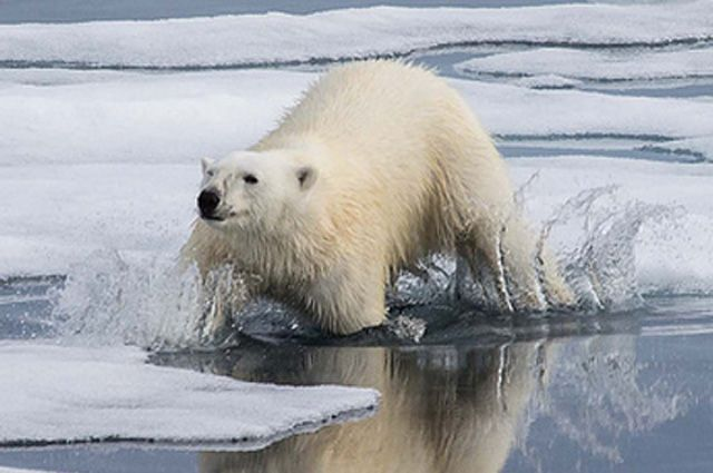 какие белые медведи видео