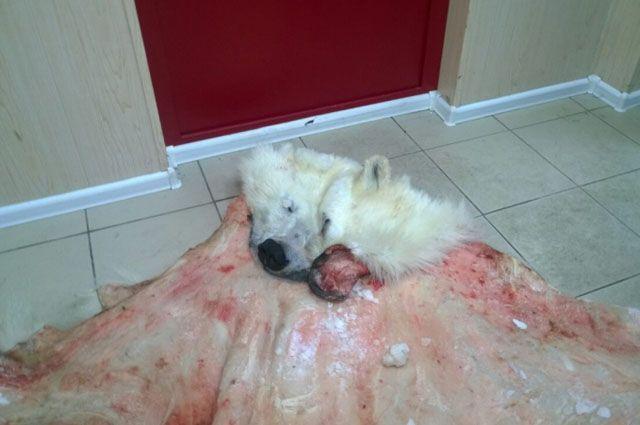 В Тазовском районе задержали мужчин, которых подозревают в убийстве белого медведя.