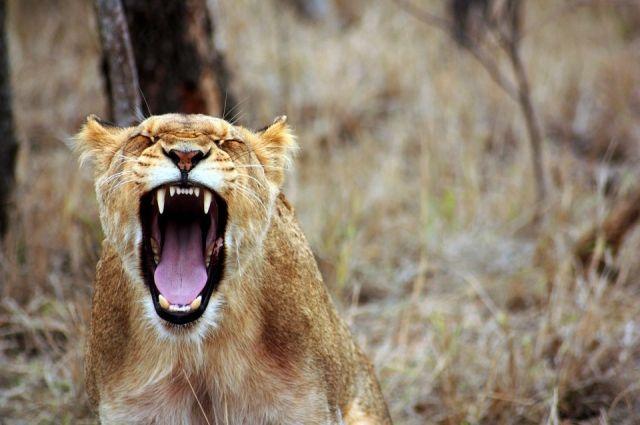 ВЭнгельсе хозяева «домашней» львицы спрятали животное отпроверяющих