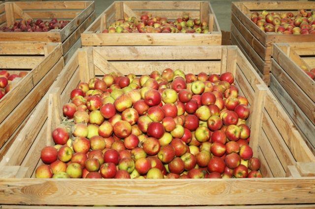 В Тюменской области раздавили три тонны, якобы молдавских, яблок
