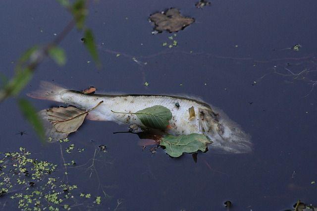 На берегах озера пустынно: вид дохлой рыбы рас- пугал даже заядлых рыбаков.