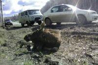 Лапушок - второй лось, сбитый на трассе в Прикамье за 9 дней.