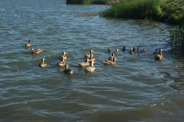 Это не первый случай, когда в краевой столице птиц замечали вне привычных для них водоёмов.