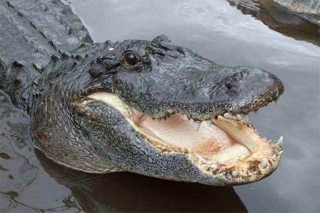 Аллигатор покусал десятилетнюю американку вштате Флорида