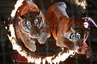 Незапланированный «променад» цирковых животных по центру Волгограда обошелся без жертв.