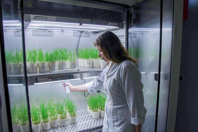 исследования в лаборатории Всероссийского НИИ биологической защиты растений.