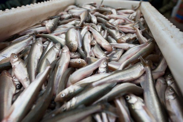 Рыба с ароматом огурца. Как корюшка стала символом Петербурга | Люди |  ОБЩЕСТВО | АиФ Санкт-Петербург