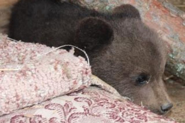Нижегородец спас медвежонка от погибели, нарушив закон