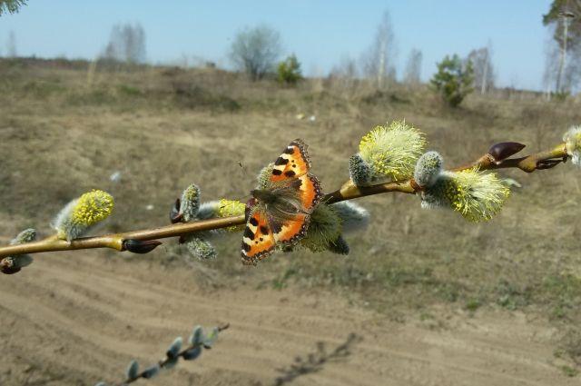 Пыльца цветущих растений переносится ветром на много километров.