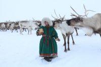 Ямальские оленеводы круглосуточно защищают новорожденных оленят.