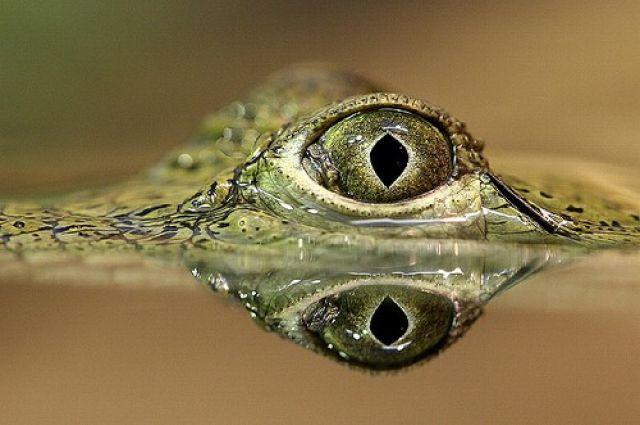 Пограничники сдали крокодила вкраеведческий музей