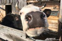 Фермер начал строить родильное отделение для коров