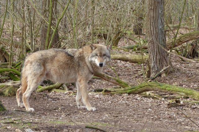 Встреч с людьми волк избегает.