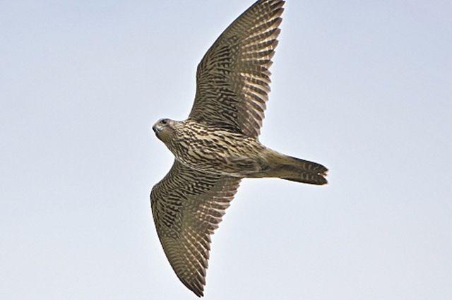 Ямальские ученые поделились своими наблюдениями за птицами.