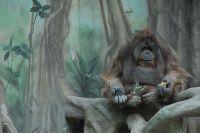 Орангутан в Московском зоопарке.